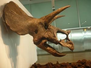 cabeza de triceratops 2-7-2014
