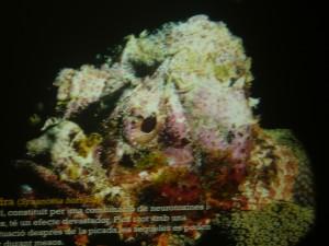 peix pedra 17-7-2014